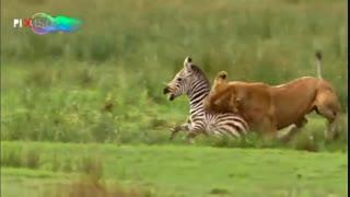 مجموعه تلویزیونی سیاره انسان ، دزدیدن شکار شیرها توسط انسان چشم در چشم
