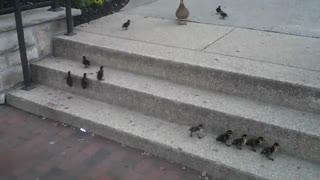 تلاش دیدنی جوجه اردکها برای بالا رفتن از پله
