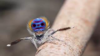 حرکات موزون و بامزه عنکبوت طاووسی