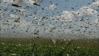 تصاویری از هجوم ملخ ها به زمین های کشاورزی ایران