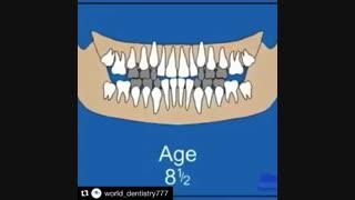 مراحل رشد دندان-دکترمجیدقیاسی دندانپزشک زیبایی مشهد