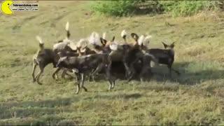 شکار گراز آفریقایی توسط سگهای وحشی آفریقایی مستند های تهران سی دی شاپ