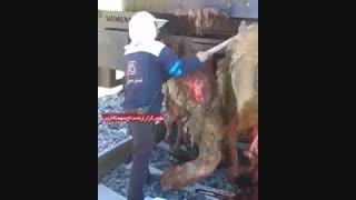 قطار جان 10 شتر را در شیراز گرفت
