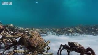 پوست انداختن گروهی هزاران خرچنگ عنکبوتی