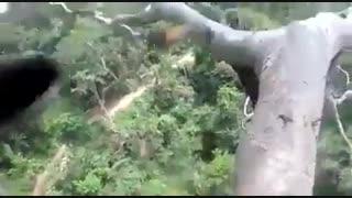 برداشت عسل وحشی  از درخت