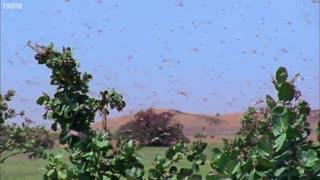 حمله ارتش ملخ ها به تمام مواد غذایی سر راهشان