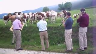واکنش گاوها و دیگر حیوانات به موسیقی