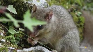 موش درختی شکمو غافل از شکارچیان اطراف