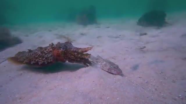 روش شکار و تغذیه ماهی مرکب