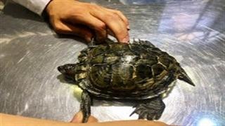 نجات و درمان گونهای کمیاب از لاک پشت با کمک لاک مصنوعی