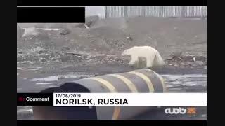 خرس قطبی برای یافتن غذا زبالهگردی می کند