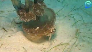 استفاده ابزاری خرچنگ از عروس دریایی به عنوان محافظ