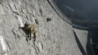 بالا رفتن بز کوهی از دیواره سد