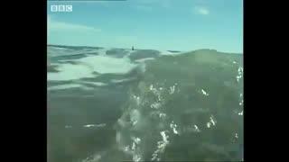 شکار شیرهای دریایی توسط نهنگ های غول پیکر