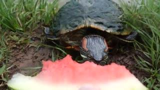 هندوانه دادن به لاک پشت ها