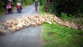 رژه هزاران اردک