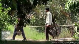 نارضایتی باغداران میناب از وضعیت کشت انبه