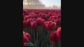 جشنواره گل هلند