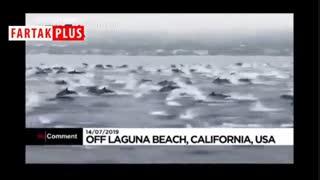 جستوخیز بیش از یکصد دلفین در آبهای سواحل کالیفرنیا
