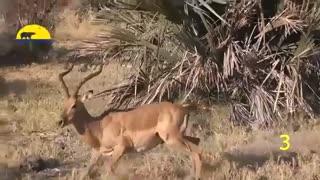 صحنه هایی شگفت انگیز از نجات حیوانات توسط حیوانات دیگر