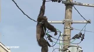عملیات ناموفق نجات شامپانزه از تیر برق