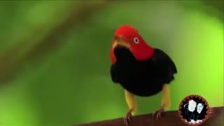 رقص بامزه پرنده منکین نر برای جذب جنس مخالف