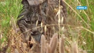 شکار کردن خرگوش توسط گربه وحشی