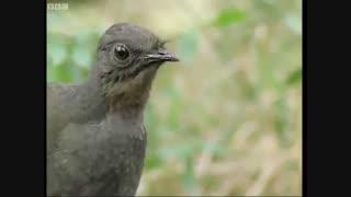 پرنده ای زیبا که صدای عجیبی دارد