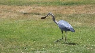 شکار زیرکانه هیرون آبی