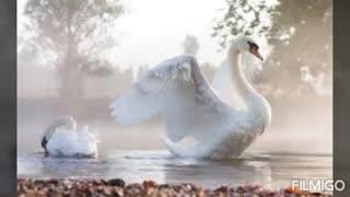 شعر مرگ قو اثر دکتر حمیدی با صدای مهرداد
