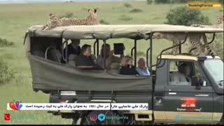 شکارگاه ماسای مارا در کنیا، حمله یوزپلنگ ها به ماشین گردشگران - بوکینگ پرشیا