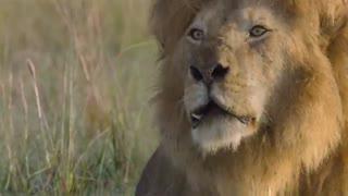 مستند گربههای آفریقایی - African Cats 2011 با دوبله فارسی
